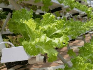 Geeignet für deinen Indoor Gemüseanbau